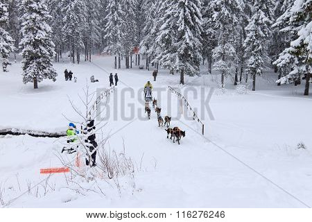 Sled Dog Race, dog team during the skijoring competition