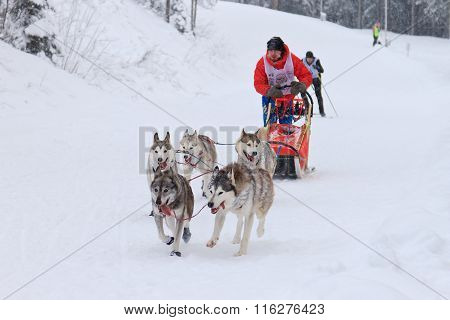 Sled Dog Race, dog team during the competition
