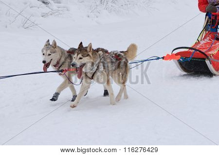 Sled Dog Race, two malamute dogs during the competition on the winter road
