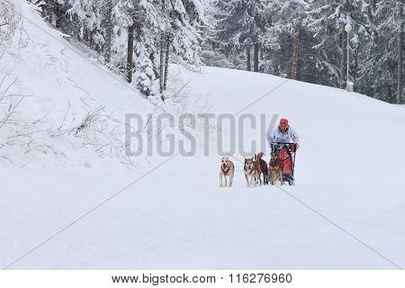 Sled Dog Race, driver and dogs during the competition