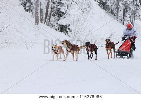 Sled Dog Race, driver and dogs during the competition on the winter road