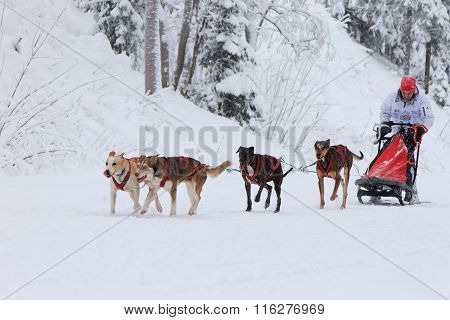 Sled Dog Race, dogs and driver during the competition on the winter road