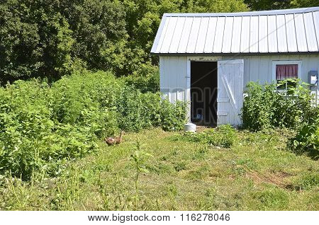 Lone duck approaches a shed