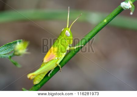 green grasshopper in natural habitat in summer