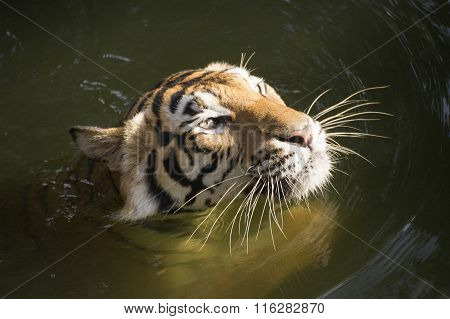 Face Of Tiger Swimming