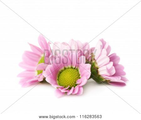 Multiple chrysanthemum flower buds isolated