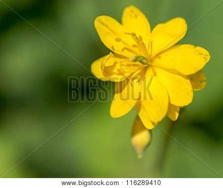 Greater celendine (Chelidonium majus) with double flower
