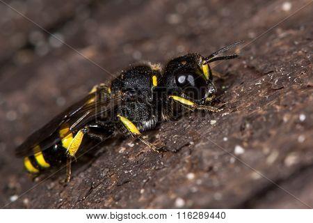 Ectemnius continuus digger wasp