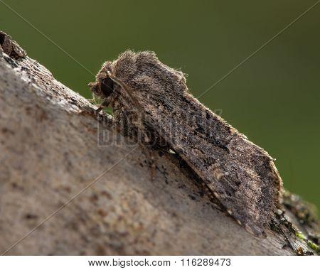 Flounced rustic (Luperina testacea) moth