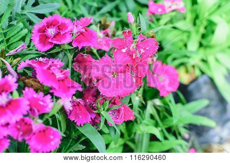 Dianthus Chinensis Flower