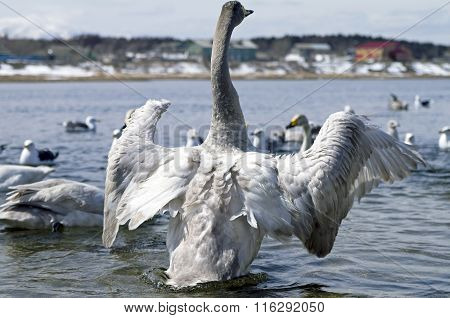 Whooper swan  waves wings