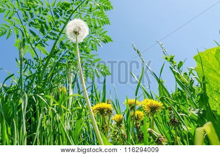 white and yellow dandelions on green grass. soft focus