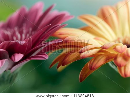 Pink and orange daisy gerbera flowers. Shallow DOF