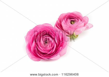 Ranunculus Flower Isolated White Background