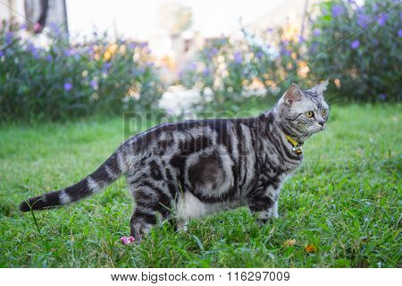 American ShortHair Cat  In The Grass Field