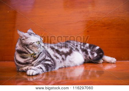Awareness American ShortHair Cat