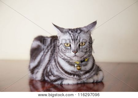 American ShortHair Cat  In Bad Feeling