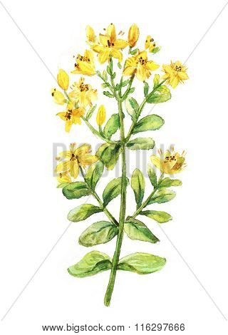 Tutsan Watercolor Drawing. St. John's Wort Branch. Hand Drawn Healing Herb. Colourful Illustration O