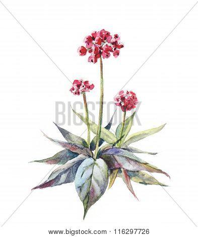 Ginseng Watercolor