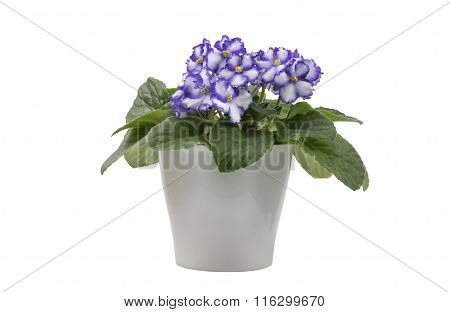 Purple & White African Violet Isolated On White Background