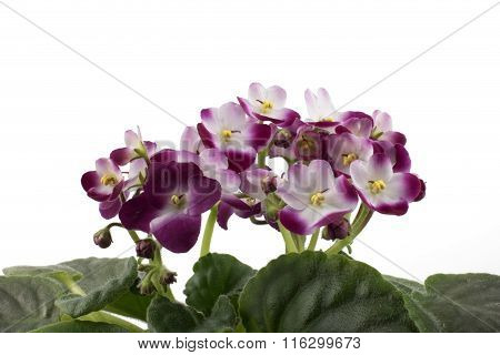 Red & White African Violet Isolated On White Background