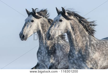 Two grey Andalusian stallions - portrait in motion