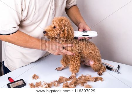 Groomer Grooming Poodle Dog With Trim Clipper In Salon