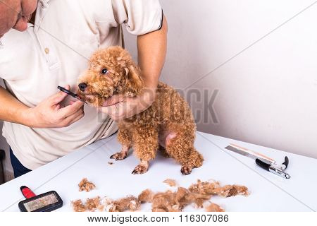 Groomer Grooming Poodle Dog With Scissor In Salon