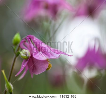 Pink Flowers Of European Columbine