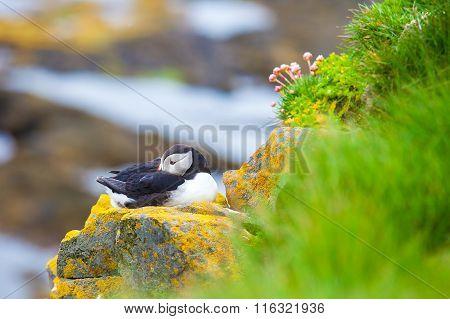 Puffins on Iceland Latrabjard cliff