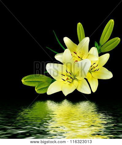 White Lily Flower On A Black Background