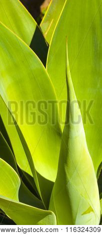 beautiful agave plant in sunlight gives a harmonic pattern