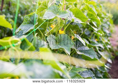 Cucumber Flowers, Creeping Vines And Leaves