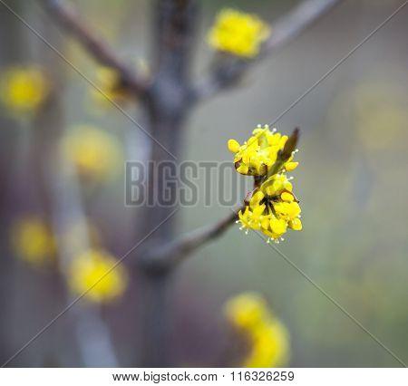 Yellow Flowers Of Dogwood