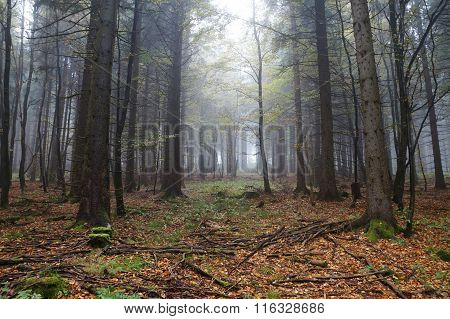 Misty beech forest in autumn
