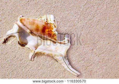 Seashells On The Sand In A Tropical Island, Maldives.