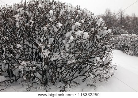 Winter Bush Covered With Snow