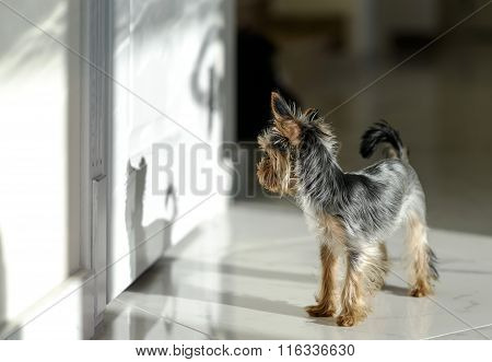 A yorkie dog wathcing his own shadow
