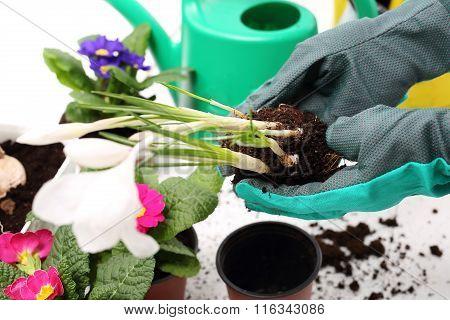 Crocuses, spring flowers