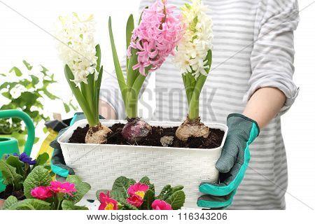 Planting of bulbous plants, hyacinth
