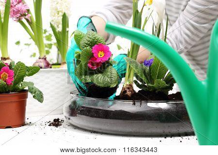 Colorful flowers, primroses