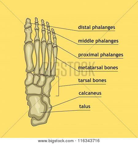 Foot Bones With Explanation.