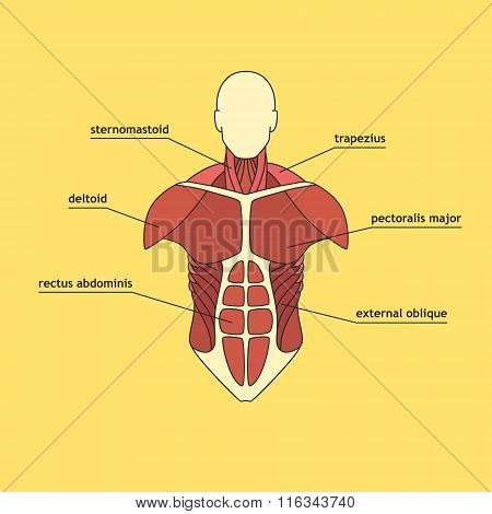 Muscle System Of Human Thorax.