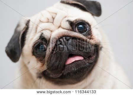 Funny pug snout. 200 mm, f/2,8