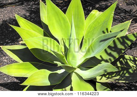 Agave Plant In Natural Sunlight