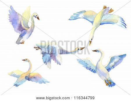 Set Of Flying Swans In Watercolor. Hand Drawn Elements Suit For