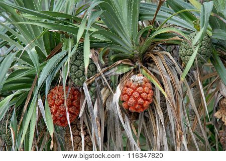Seeds of sea pandanus or screw pine plant tree (Pandanus tectorius or Pandanus odoratissimus)