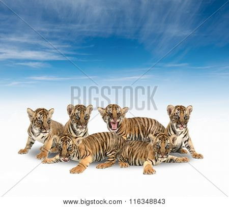 Group Of Baby Bengal Tiger