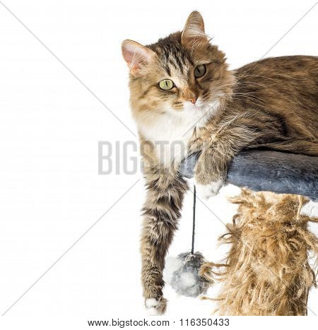 Cat, resting cat on a sofa in isolate background, cute funny cat close up, young playful cat on a be