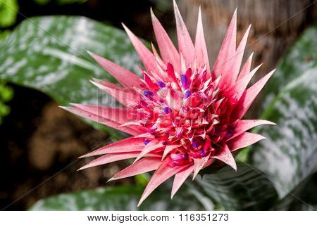 Blooming Aechmea Fasciata